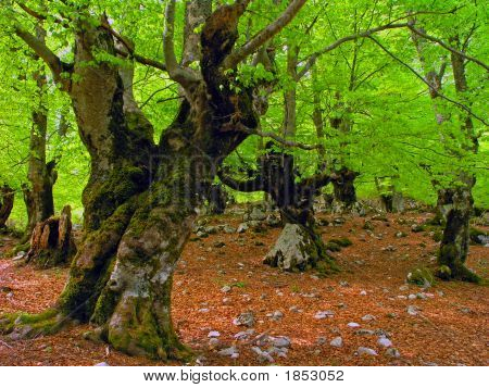 Old Beech Tree Forest