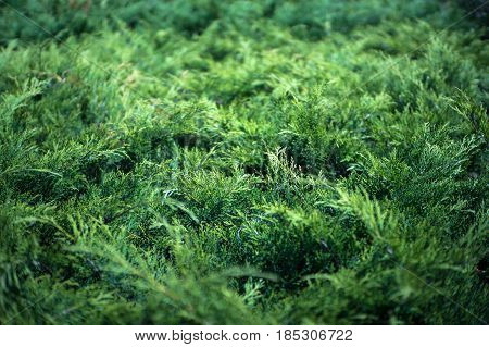 Green background of conifers. The spruce texture.