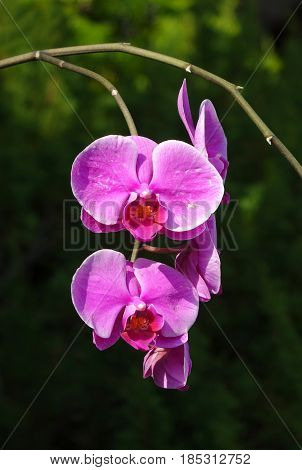 Purple and blossoms of the Phalaenopsis orchid family