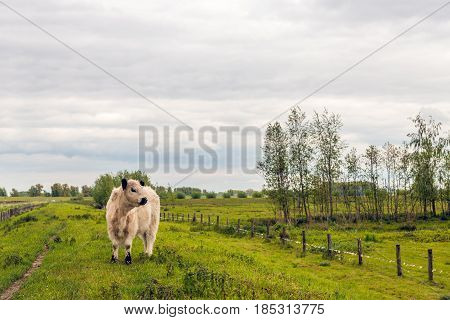 White galloway calf with a thick coat standing alone on top of a Dutch embankment on a cloudy day in the spring season.l