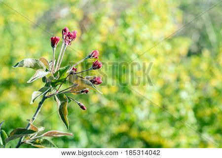 Blossoming branches of an Niedzwetzky's apple or Malus niedzwetskyana