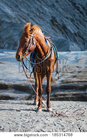 Horse For Tourist Rent At Mount Bromo Volcanoes In Bromo Tengger Semeru National Park In East Java,