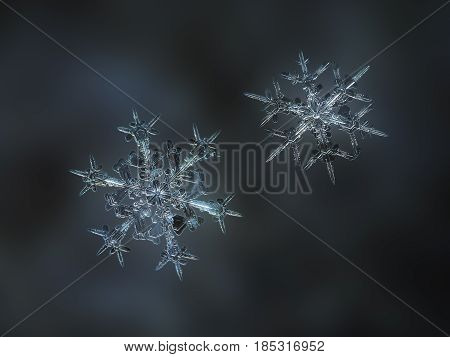 Macro photo of two real snowflakes, sparkling on dark blur background. These elegant snow crystals of stellar dendrite type have thin, sharp arms with side branches and fine symmetrical shapes.