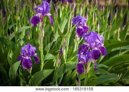 Closeup of blue iris flowers. Blooming iris flowers in garden.