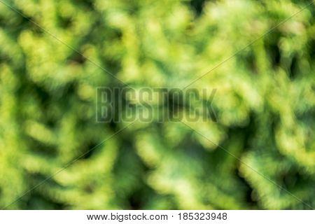 conifer tree defocused background. close up blurred nature