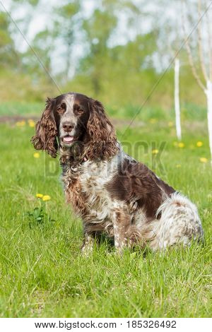 Brown Spotted Russian Spaniel Lays On The Green Grass