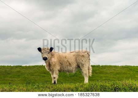 Side view of a white galloway calf with a thick coat and black ears curiousluyy looking at the photographer while standing next to a dike on a cloudy day in the Dutch spring season.