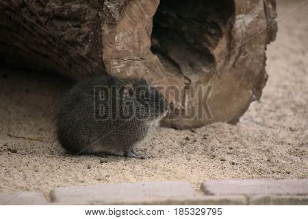 Guinea Pig (cavia Porcellus) Sitting In The Sand