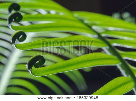 beautiful circle Bird's nest fern leave close up. Macro photo. Ferns sprout