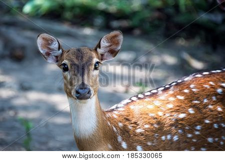 Spotted a young deer with a white chest and big eyes looks into the camera lens.