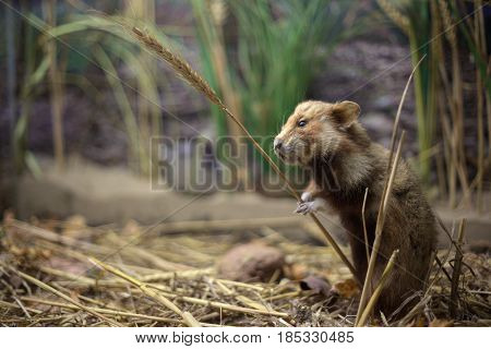 European Hamster (cricetus Cricetus) With A Wheat Stem
