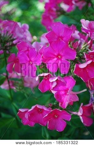 Crimson pink phlox flower cluster in the garden