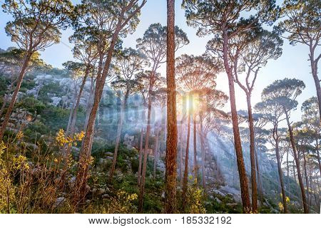 Beautiful forest landscape, sun beams break through majestic pine trees trunks, amazing wild nature, wonderful tranquil view