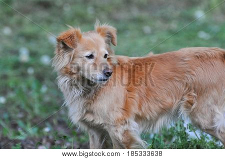 Yellow domestic dog looking up side. Cute domestic dog outside