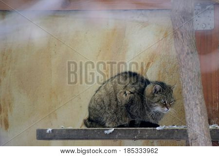 Grumpy European Wildcat (felis Silvestris Silvestris) Sitting On A Board