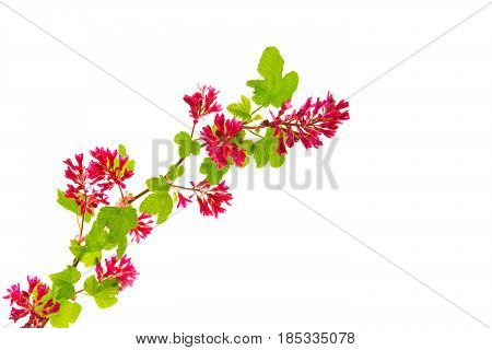The blossoming currant blood-red .Blood currant flowers isolated on white background.