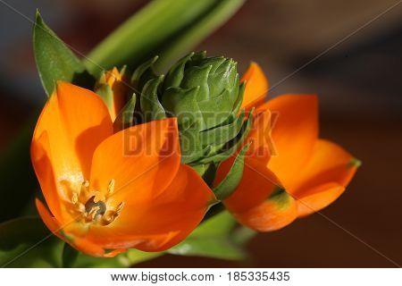 Orange Blossoms Of Ornithogalum Dubium, The Star Of Bethlehem