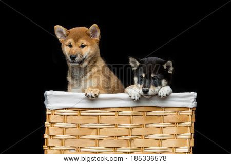Beautiful black and brown japanese shiba inu puppy dogs sitting in basket over black background. Copy space.
