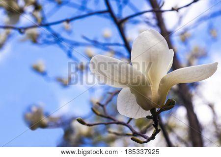 White magnolia. Creamy blossom of white magnolia tree. Magnolia flower in Botanic garden. Beautiful magnolia blossoms in spring profiled on sky