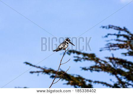 Black-white kingfisher in ambush on branch. Naivasha, Kenya