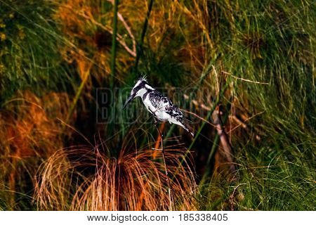 Black-white kingfisher in ambush. Naivasha lake, Kenya