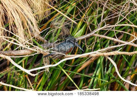 Black kingfisher in ambush. Naivasha lake, Kenya