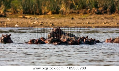 Naivasha hippos and family. Kenya, Eastest Africa
