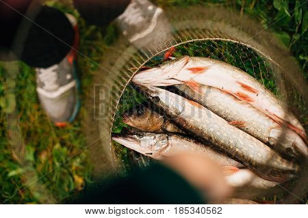 Nice catch pike fish caught using fishing rod and lure