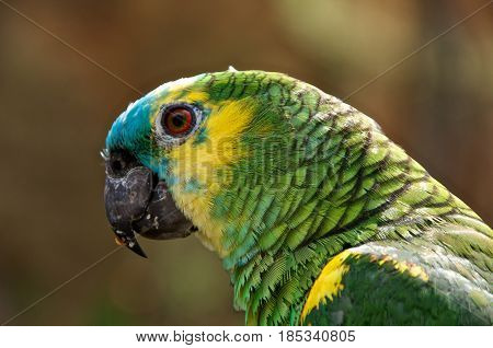 Animal portrait of a turquoise-fronted amazon (Amazona aestiva) also called the turquoise-fronted parrot the blue-fronted amazon and the blue-fronted parrot.
