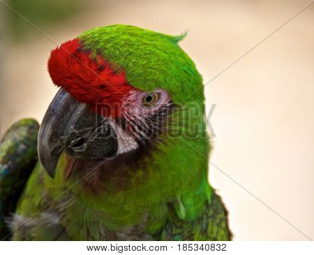 Animal portrait of a military macaw (Ara militaris).