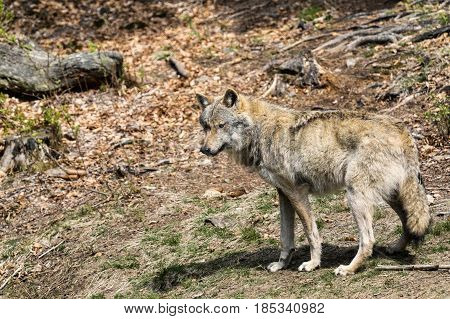 The wolf lurks on prey looking from the front. Canis lupus wolf wild European wolf Canis lupus wolf CZECH REPUBLIC.