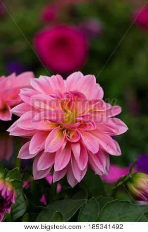 Portrait layout closeup of beautiful pink dahlia flower with drops of water