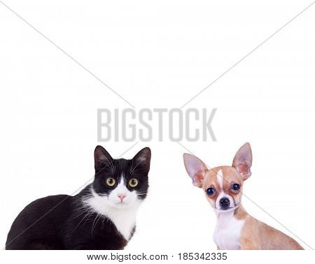 black and white cat near little chiwawa puppy dog isolated on white background