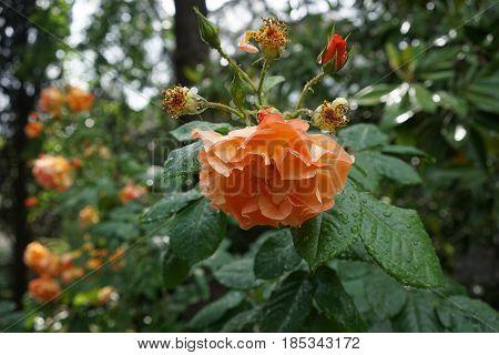 Drooping after rain orange garden roses in the garden