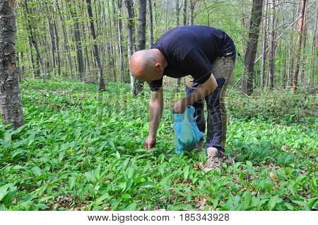 Man in the forest picking wild garlic. Men picking ramson or bear garlic