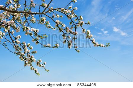 Apple blossoms and blue sky in spring day.Blossom tree branches with sky at background.