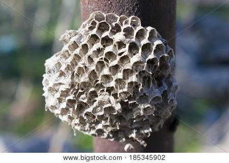 Old dry a hornet's nest to an iron pipe