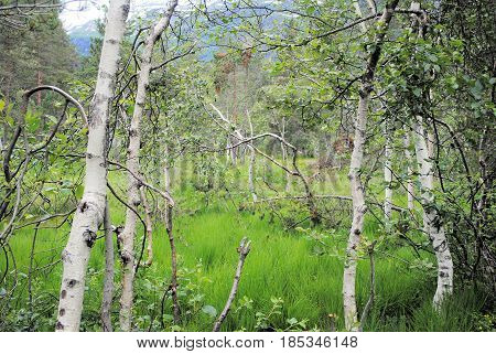 Silver birches together with green grass in Norway
