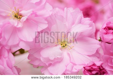 Cherry Blossom Sakura, Pink Flowers As Natural Floral Background