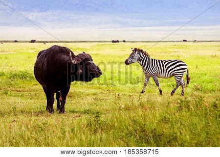 Afrivan zebra and buffalo in the Ngorongoro Crater Conservation Area. Africa. Tanzania.