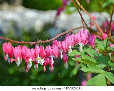 Bleeding hearts flowers growing in the garden