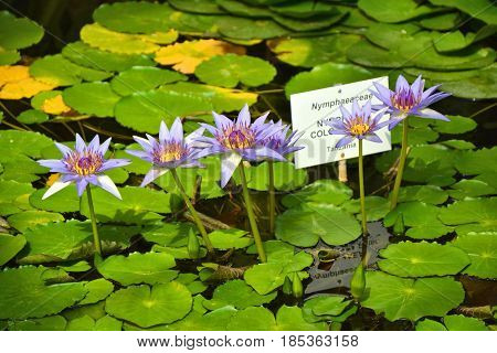 Blue water lily Nymphea colorata in water pond
