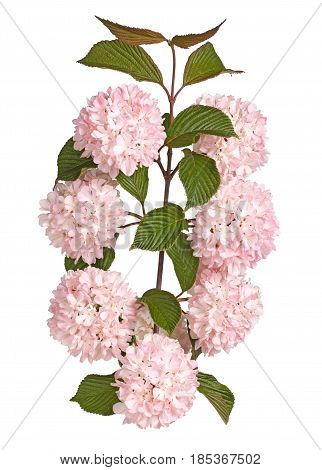 Flowers leaves and stems of a snowball viburnum (Viburnum plicatum forma plicatum) cultivar Kerns Pink isolated against a white background