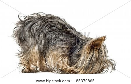 Yorkshire smelling the ground, isolated on white