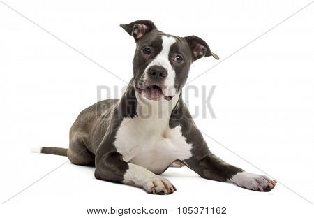 American Staffordshire Terrier lying, isolated on white