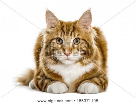 Maine Coon lying, isolated on white