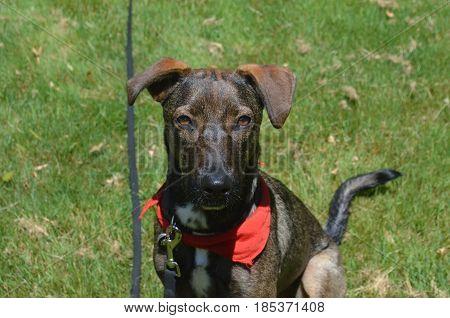 Sweet dark colored cunucu dog with a red bandana.