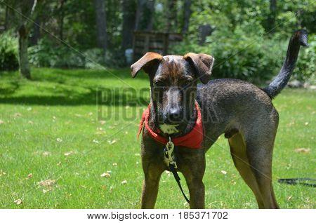 Gorgeous cunucu dog standing in the warm sunshine.