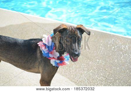Patriotic cunucu dog with a lei around his neck.