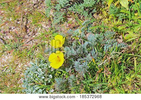 Early spring yellow flowers of the native perennial coastal California poppy (Eschscholzia californica variety maritima) at Asilomar State Beach on the Monterey Peninsula in Pacific Grove poster